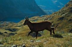 Alpiene steenbok (Capra-steenbok) Stock Afbeeldingen