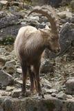 Alpiene Steenbok op rotsvorming Royalty-vrije Stock Foto's