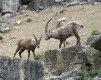 Alpiene Steenbok op rotsvorming Stock Fotografie