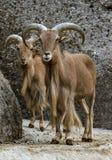Alpiene steenbok - Steinbock - Portret royalty-vrije stock fotografie