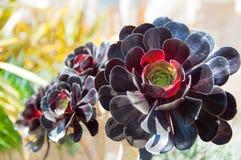 Alpiene succulent Royalty-vrije Stock Afbeelding