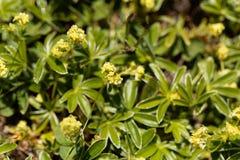 Alpiene vrouwemantel, Alchemilla alpina Royalty-vrije Stock Fotografie