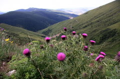 Alpiene weide met pijnboombos Stock Afbeelding