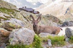 Alpiene Wilde Steenbok die voor een Rots op Sunny Summer Da pauzeren royalty-vrije stock afbeelding