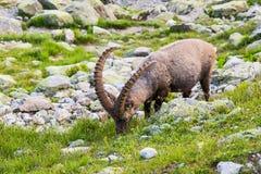 Alpiene Wilde Steenbok die voor een Rots op Sunny Summer Day eten stock fotografie