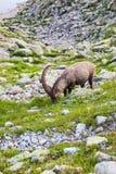 Alpiene Wilde Steenbok die voor een Rots op Sunny Summer Day eten royalty-vrije stock foto