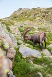 Alpiene Wilde Steenbok die voor een Rots op Sunny Summer Day eten stock afbeeldingen