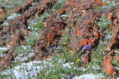 Alpiene wildflowers Royalty-vrije Stock Afbeeldingen