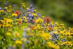 Alpiene wildflowers stock foto's