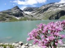 Alpiene wildflowers Adenostyles Royalty-vrije Stock Fotografie