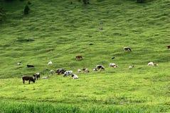 alpin牛 免版税库存图片