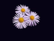 Alpin astermakro Royaltyfria Bilder