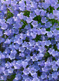 Alpin blå klockblomma för Klocka blomma Royaltyfria Foton