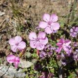 Alpin blomma, Dianthus Sylvestris Wulfen, Aosta Valley Italien royaltyfria bilder