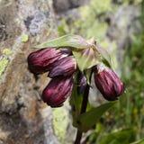 Alpin blomma Gentiana Purpurea & x28; Purpurfärgade Gentian& x29; Valpelline Aosta Valley, Italien Arkivfoton