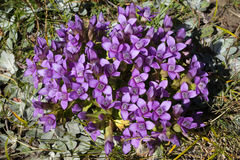 Alpin blomma, Gentianella Campestris, fältgentiana aostaitaly dal Royaltyfri Bild