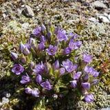 Alpin blomma, Gentianella Germanica, Chiltern gentiana aostaitaly dal arkivbilder