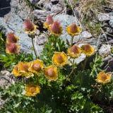 alpin blomma GeumReptans frukter som kryper avensen aostaitaly dal royaltyfri fotografi
