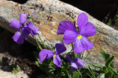 Alpin blomma Viola Calcarata aostaitaly dal Arkivfoton