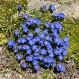 Alpin blommaEritrichium nanum, arktisk alpin förgätmigej, Aosta Valley, Italien royaltyfri fotografi