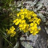 Alpin blommaErysimumhelveticum, schweizisk lackviol aostaitaly dal royaltyfria bilder