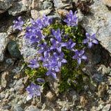 Alpin blommaklockblommacenisia, Mont Cenis Bellflower aostaitaly dal fotografering för bildbyråer
