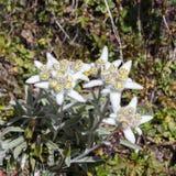 Alpin blommaLeontopodium Alpinum & x28; Edelweiss& x29; , Aosta Valley, Italien arkivfoto