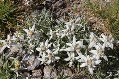 Alpin blommaLeontopodiumAlpinum edelweiss, Aosta Valley, Italien royaltyfri bild