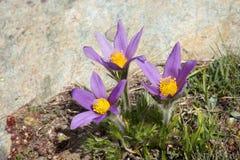 Alpin blommaPulsatilla Halleri, Aosta Valley, Italien fotografering för bildbyråer