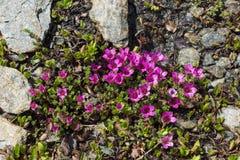 Alpin blommaSaxifraga Oppositifolia, Aosta Valley, Italien royaltyfri bild