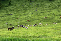 Alpin cattle. At the lake Vilsalpsee near Thannheim, near valley of Thannheim, Austira Royalty Free Stock Images