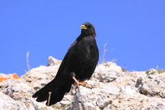 alpin chough Arkivbilder