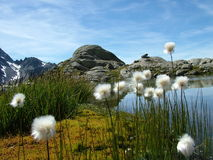 Alpin flowers. White alpin flowers on the shore of a mountain lake Stock Photos