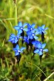 Alpin gentiana Fotografering för Bildbyråer