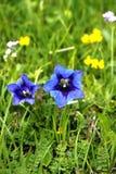 Alpin gentiana Royaltyfria Foton
