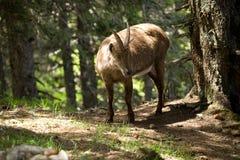 alpin ibex Arkivbilder
