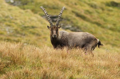 alpin ibex Royaltyfri Foto
