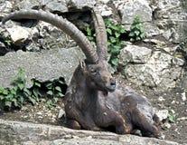 Alpin ibex Royaltyfria Foton