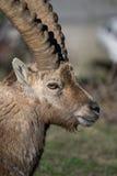 Alpin ibex Royaltyfria Bilder