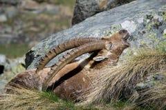 Alpin ibex Royaltyfri Bild