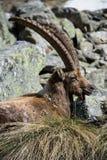 Alpin ibex Arkivbild