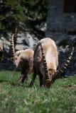 Alpin ibex Fotografering för Bildbyråer