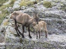 Alpin ibex Arkivfoto
