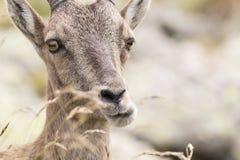 Alpin ibex Arkivfoton