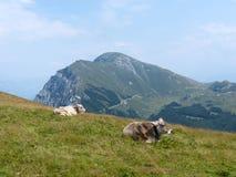Alpin ko 2 royaltyfri foto