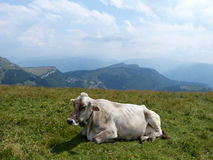 Alpin ko 1 royaltyfri foto