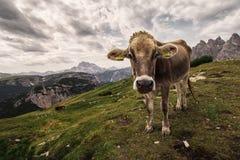Alpin ko i en medow i Italien Arkivbilder