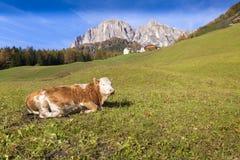 Alpin ko Val Gardena Italy Fotografering för Bildbyråer