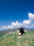 Alpin Kuh Lizenzfreie Stockbilder
