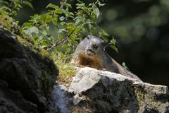 alpin marmot Arkivbild